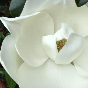 Large White Magnolia