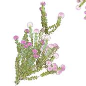 Melaleuca nesophila - Western Showy