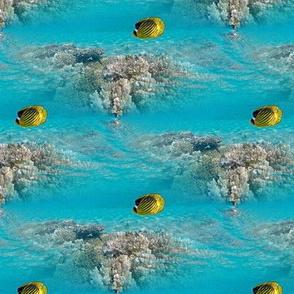 angelfish over corals
