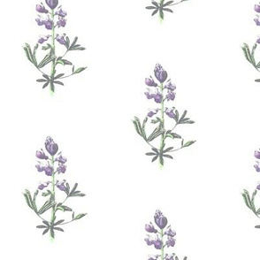 Fields of lupine