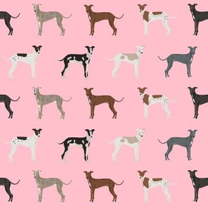 italian_greyhound_blossom
