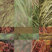 Teff Collage