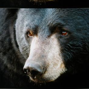 Black Bear pillow cover