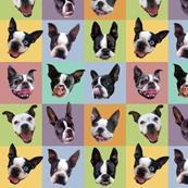 Boston Terriers - medium portraits