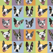 Boston Terriers - medium portraits