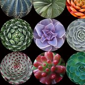 Succulents_lg_blk_shop_thumb