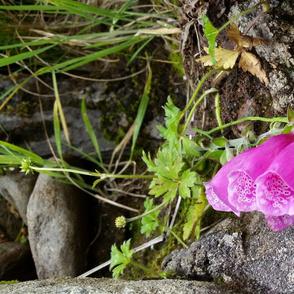 foxglove_2014-07-31_04