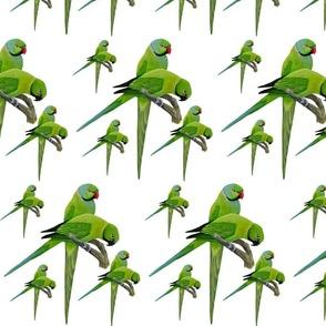 Echo Parakeets