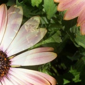 Giant Painted Daisy