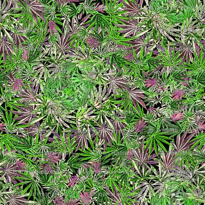 Whorled Cannabis