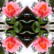 Trellised Pink Rose Ripples
