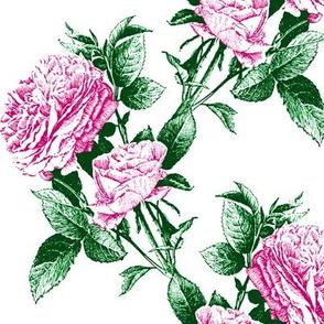 climbing roses hot pink