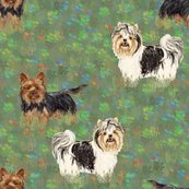 Rbiewer_and_standard_yorkshire_terriers_in_wildflower_field_shop_thumb
