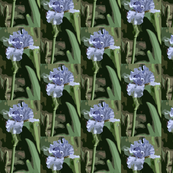 Light_Blue_Iris_pcut_c