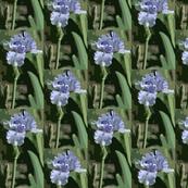 Light_Blue_Iris_pcut_c