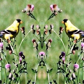KRLG_Goldfinches_On_Thistle