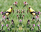 Rkrlg_goldfinches_on_thistle_thumb