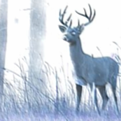 Woodland Buck