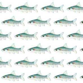 Congo Barb fish