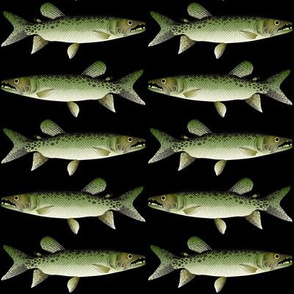 African Pike Characin in black