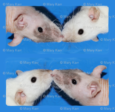 Kissing Fancy Rats on Blue
