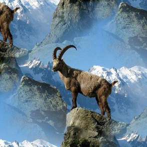 ibex on the rocks