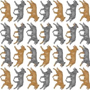 Trotting Australian cattle dog border A - vertical