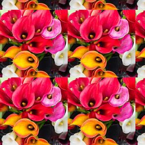 Calla Lily Blooms