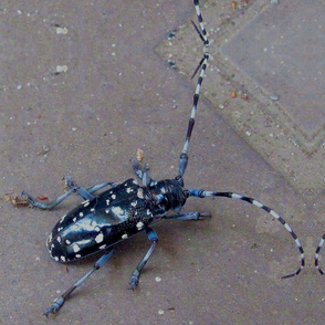 Japanese Paper-cutter beetle