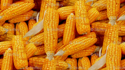 corn cobs - painting effect
