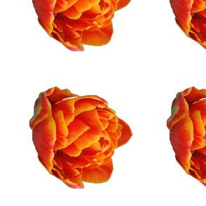 Brilliant Orange and Yellow Tulip