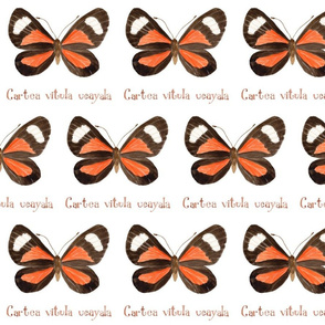 Butterfly - Cartea vitula ucayala
