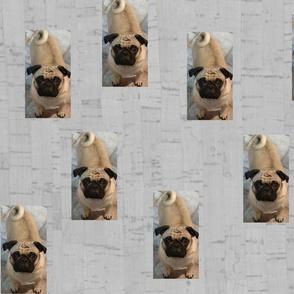 pugs on cork
