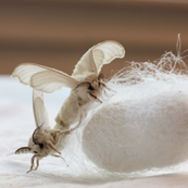 Mating Silk Moths