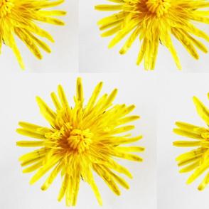 The Common Dandelion