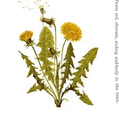 Coloured_dandelion_print_white_background_fin_shop_thumb