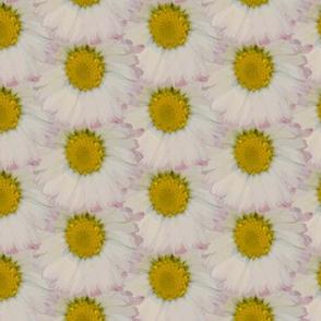 Daisy daisy everywhere