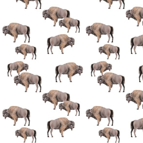 Sample Buffalo Herd
