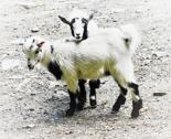Rtwo_goats_thumb