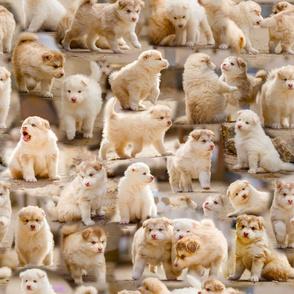 Finnish Lapphund Puppies