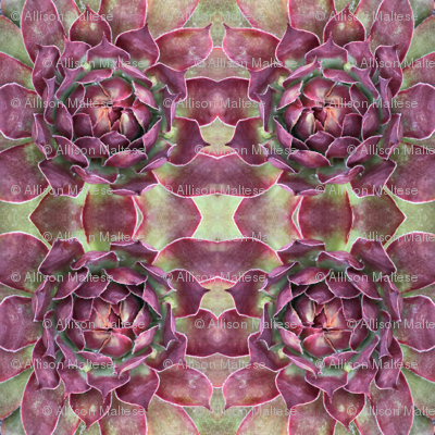 Burgundy  Succulents 1670