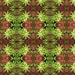 Red Sedum Succulents 4778