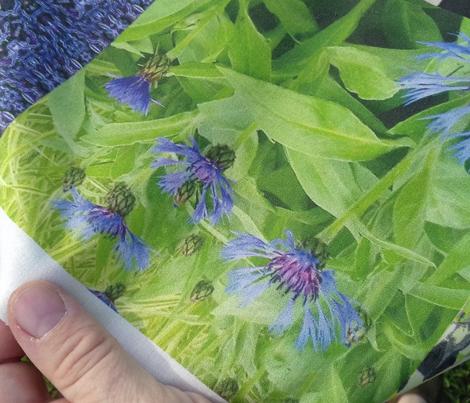 Photographed Cornflowers