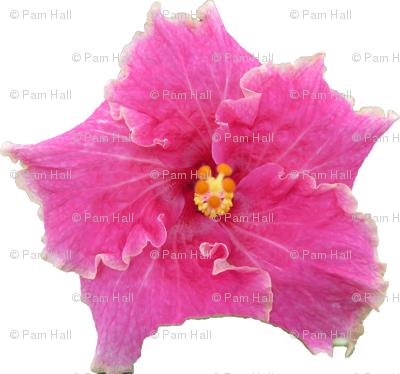 PinkHibiscus