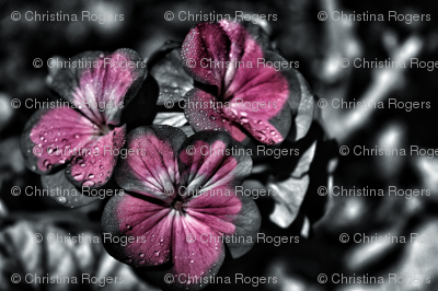 Rflower-2009974_1920_preview