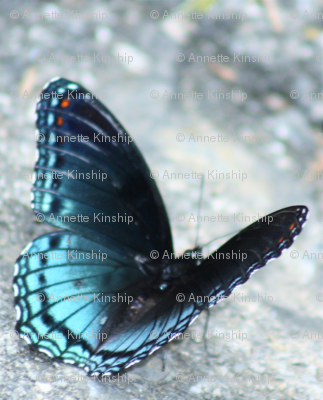 Blu Butterfly TENN-D IMG_0382