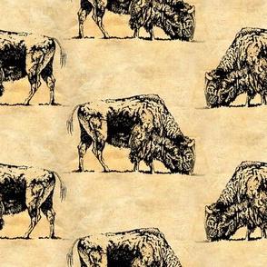 Black Bison Grazing
