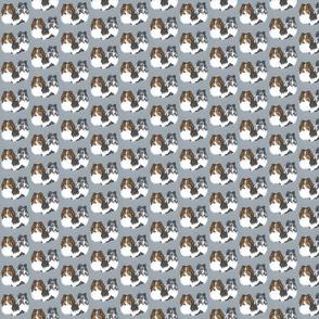 Shetland sheepdog portraits on blue-grey
