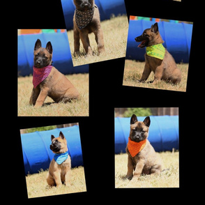 Malinois puppies