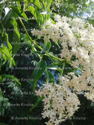 elderberry love